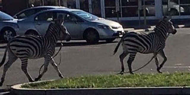 Nov. 15, 2015: Two zebras escaped from the UniverSoul Circus in Philadelphia before being captured by police.