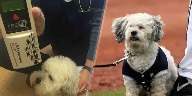 While Hank looks a bit whiter and fluffier than in 2014 (right), a scan of his microchip confirms it's still him.