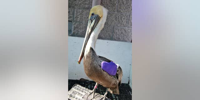 This photo provided by International Bird Rescue shows a gunshot-injured brown pelican recovering after surgery on Tuesday, March 24, 2015 at the International Bird Rescue center in Los Angeles. A $5,000 reward is being offered for information leading to the arrest and conviction of the person who shot the pelican that was found wounded in Redondo Beach, Calif., on March 12.(AP Photo/International Bird Rescue, Kylie Clatterbuck)