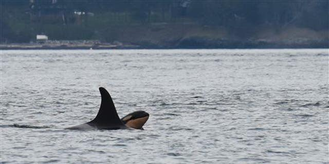 Newborn orca calf J53 is seen with it's mother J17 off San Juan Island, Wash., on Saturday, Oct. 24, 2015.