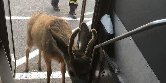 Jan Giesbrecht said the deer also worked its way over to the bus, which she was using to transport firefighters near Burns Lake.
