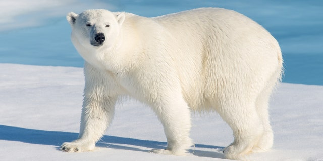 A polar bear attacked and killed a 31-year-old father who was protecting his children from the animal, a report said.