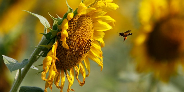 A bee collects pollen from a sunflower in a field at the southern Indian state of Tamil Nadu March 13, 2013. REUTERS/Babu (INDIA - Tags: ANIMALS) - RTR3EX36