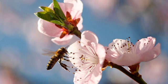 A bee flies around peach blossoms in Studencice March 29, 2014. REUTERS/Srdjan Zivulovic (SLOVENIA - Tags: ANIMALS) - RTR3J3ZY