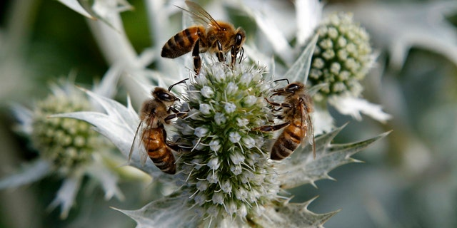 Honey bees collect nectar from an Eryngium plant in the gardens of Great Dixter in Northiam, East Sussex August 4, 2013. Great Dixter was the family home of gardener and gardening writer Christopher Lloyd.   REUTERS/Chris Helgren        (BRITAIN - Tags: ENVIRONMENT SOCIETY ANIMALS) - RTX12AI8