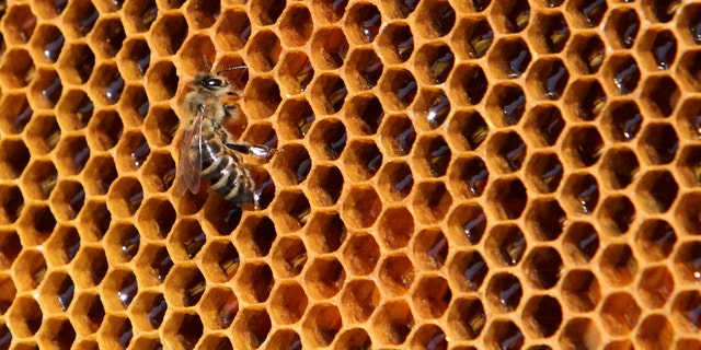 A bee sits on a honeycomb from a beehive at Vaclav Havel Airport in Prague September 6, 2013. Honey produced by the bees are checked for its quality and presence of pollutants to help the Vaclav Havel Airport Prague to collect pollution data about the environment. Picture taken September 6, 2013. REUTERS/David W Cerny (CZECH REPUBLIC  - Tags: AGRICULTURE ANIMALS SOCIETY ENVIRONMENT TRANSPORT) - RTX13BFV