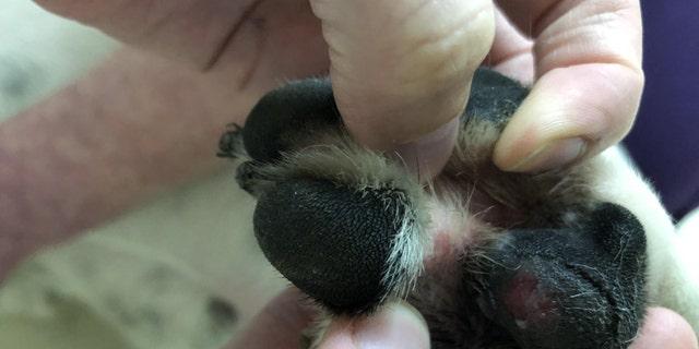 Rebel's injured paw.