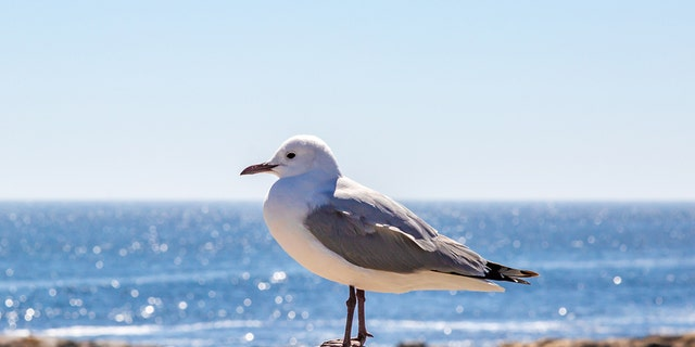 File photo - A seagull perched on a post with the ocean behind
