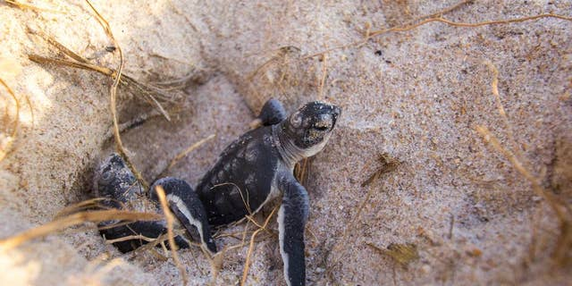 In this Aug. 13, 2015 photo made available by the University of Central Florida, green turtle hatchlings emerge from their nests at the Archie Carr Wildlife Refuge in Melbourne, Fla.