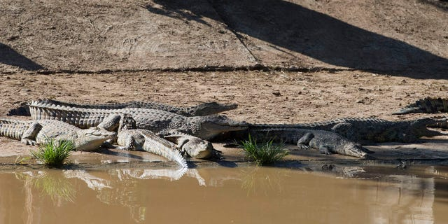 Jan. 23, 2013 - Recaptured crocodiles back safely on the farm they escaped from, at Pontdrif, South Africa, near the Botswana border.