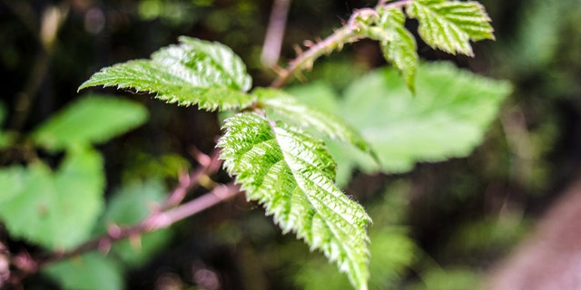 Stinging nettle can grow up to 8 feet tall and has thin branches and dark green leaves.