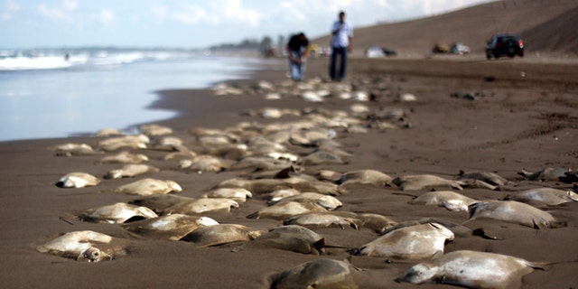 July 16, 2013: Stingray carcasses litter the shore of the Chachalacas beach near the town of Ursulo Galvan on Mexico's Gulf Coast.