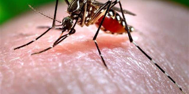 This 2006 photo shows a female Aedes aegypti mosquito acquiring a blood meal from a human host at the Centers for Disease Control.