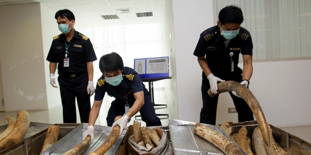 Feb. 25, 2011: Thai customs officials prepare to display seized elephant tusks smuggled into Thailand from Nigeria before a news conference in Bangkok