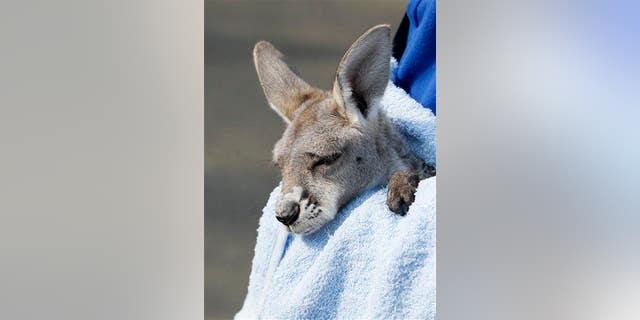A baby kangaroo is seen at Belgrade Zoo.