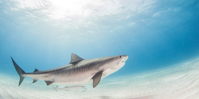 Tiger sharks are seen in part of Hawaii