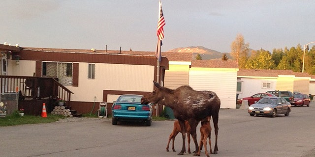 June 6, 2014: A moose calf is reunited with its mother and sibling at a trailer court in Anchorage, Alaska. Alaska state biologists are reminding people not to touch moose calves or try to take them home as pets following a string of recent incidents involving people handling the animals, including one household that had one in the living room 'as if it was a puppy.' (AP Photo/Alaska Dept. of Fish and Game, Jessy Coltrane)