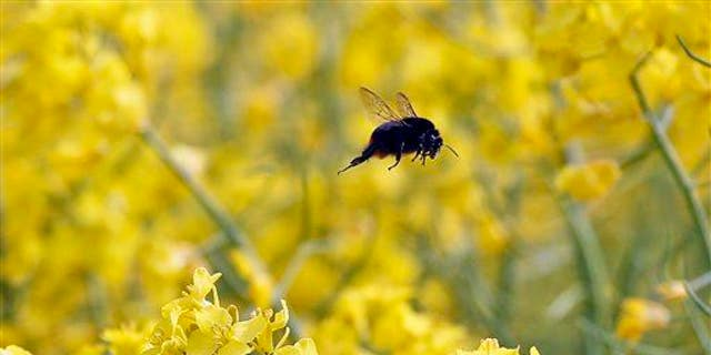 A bumblebee flies over a rapeseed field in Duisburg, Germany, Wednesday, May 8, 2013.