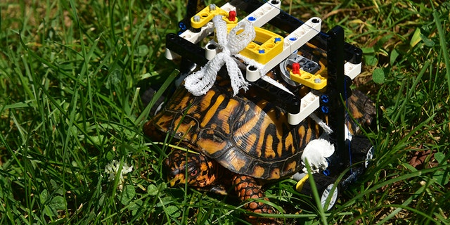 "The turtle ""never even hesitated"" once he got his wheelchair, Fraess said."