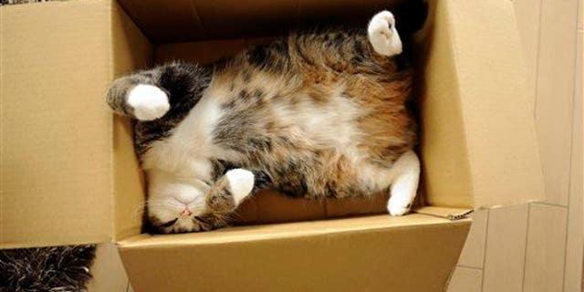 Celebrity cat Maru rests in a cardboard box in Japan.