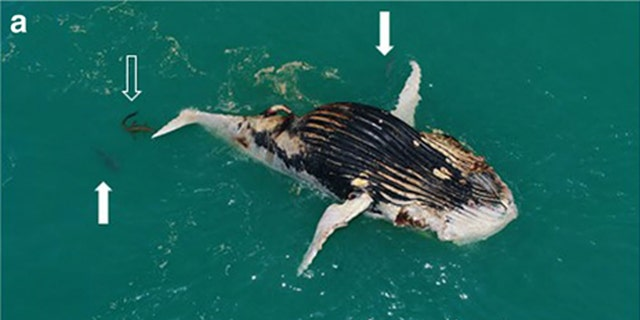 A crocodile joined four tiger sharks as they feasted on a dead whale in Australia.