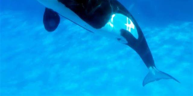 A mother killer whale and her calf are shown.