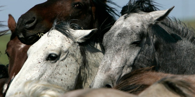 May 17, 2007: In this file photo, manes flow in the wind on some of the mustangs from Karen Sussman's White Sands herd on her wild horse conservation refuge in Lantry, S.D.