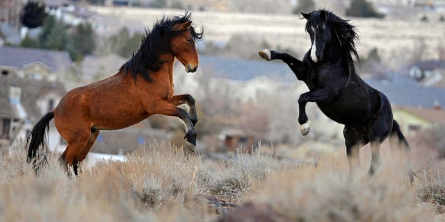 In this Jan. 13, 2010 file photo, two young wild horses play while grazing in Reno, Nev. Wild horse protection advocates say the government is rounding up too many mustangs while allowing livestock to feed at taxpayer expense on the same rangeland scientists say is being overgrazed.