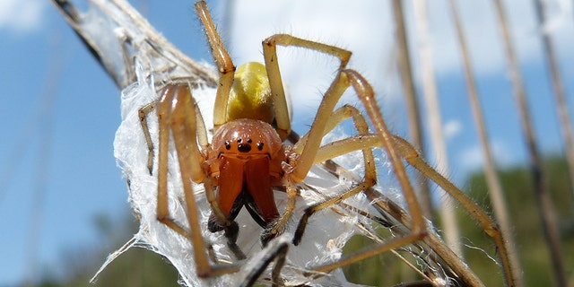 A yellow sac spider.