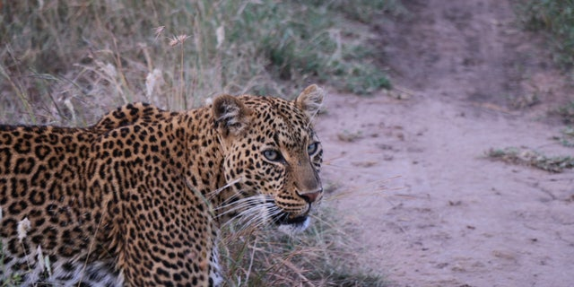 Agree ahead of time how many times you'll post all of the leopards to your Instagram. Shot at Naboisho Camp, Kenya.
