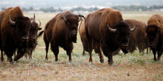 A hiker was gored and trampled by a bison near Frary Peak on Antelope Island State Park in Utah on Saturday, officials said.