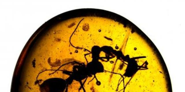 Workers of two different ant species fighting, caught in 100-million-year-old Burmese amber