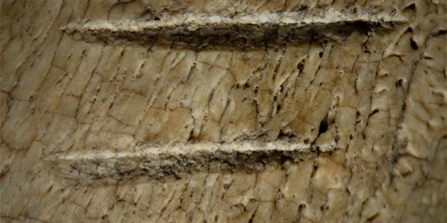 Scientists noticed two parallel cut marks made by stone tools cutting into tissues on the rib of a cow-sized or larger ungulate, suggesting our human ancestors were ripping meat from the bones.