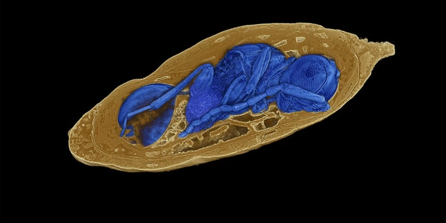 X-ray imaging reveals concealed parasitoid wasps inside mineralized fly pupae. Credit: Photo: Georg Oleschinski/Rendering: Thomas van de Kamp