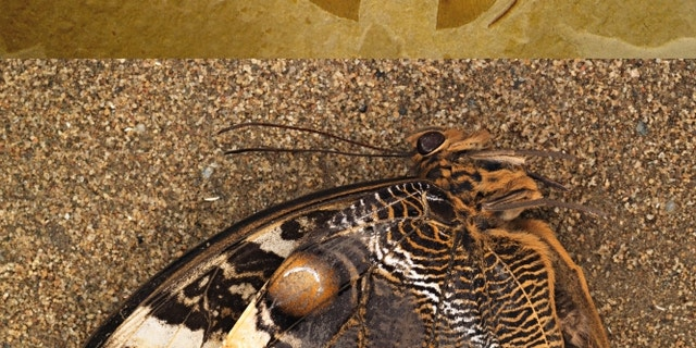 A photo of the modern owl butterfly (Caligo Memnon) shown below a fossilized Kalligrammatid lacewing (Oregramma illecebrosa) shows some of the convergent features independently evolved by the two distantly-related insects, including wing eyespots and wing scales.
