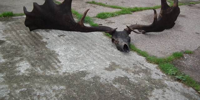 Fishermen caught quite the catch with this enormous skull and antlers from an extinct Irish elk. Credit: Pat Grimes/Ardboe Heritage