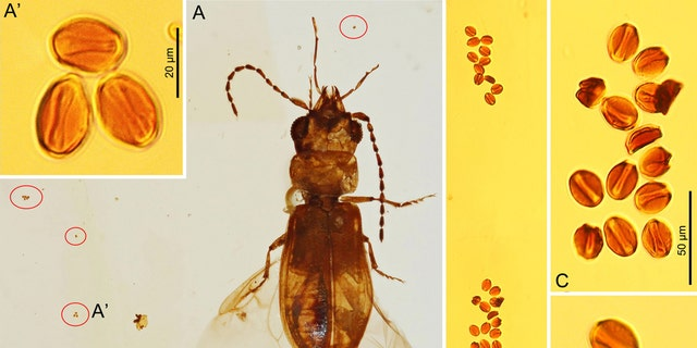 Cycad pollen grains associated with C. cycadophilus