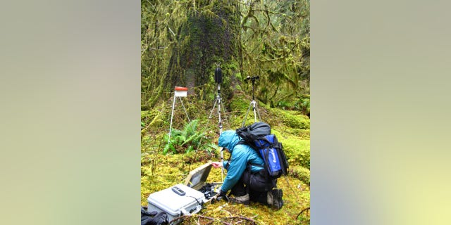 In this photo provided by the National Park Service, a National Park Service staffer sets up an acoustic recording station in the temperate old-growth Hoh rainforest of Olympic National Park, Wash. The call of the wild is getting harder to hear. Peaceful natural sounds, bird songs, rushing rivers and rustling grass, are being drowned out by human-made noise in nearly two-thirds of America's protected parks, forests and wilderness areas, a new study finds.  (National Park Service via AP)