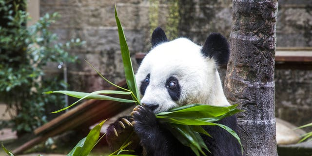 FILE - In this Saturday, Nov. 28, 2015, file photo, Basi the giant panda eats plants during ceremonies to mark her 35th birthday at the Fuzhou Giant Panda Research Center in Fuzhou in southeastern China's Fujian province. Basi passed away Wednesday, Sept. 13, 2017, at the age of 37. Caretakers in the eastern city of Fuzhou said Basi was suffering from a number of ailments, including liver and kidney problems, when she died. (Chinatopix via AP)