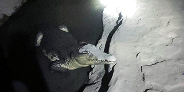 In this undated handout photo released by the Russian Interior Ministry official website on Friday, Jan. 19, 2018, a crocodile rests in a small pool of water dug in a concrete basement in St. Petersburg, Russia.