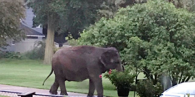 Kelly, an elephant owned by Carson & Barnes Circus, escaped her enclosure last summer and roamed free through a residential Wisconsin neighborhood.