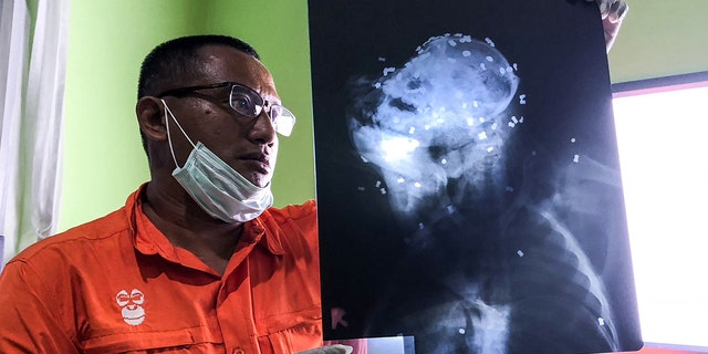 Authorities said they found more than 70 pellets in the head of the orangutan.