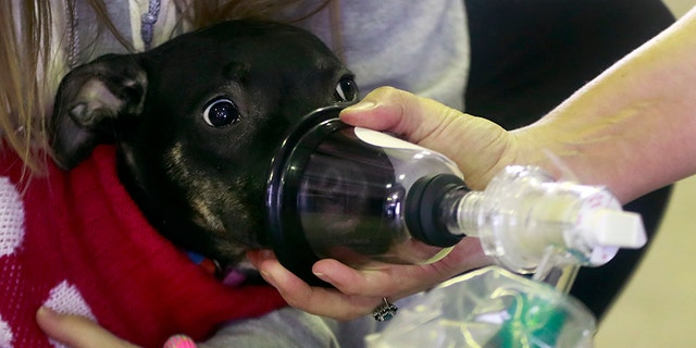An oxygen mask is demonstrated on Juliet, a pit bull mix.