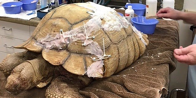 A veterinarian works on a wayward tortoise that cracked its shell after falling off a 10-foot wall in San Diego County, Calif., April 17, 2018.