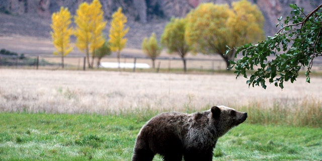 A grizzly bear cub searches for fallen fruit beneath an apple tree a few miles from the north entrance to Yellowstone National Park in Gardiner, Mont., Sept. 25, 2013.
