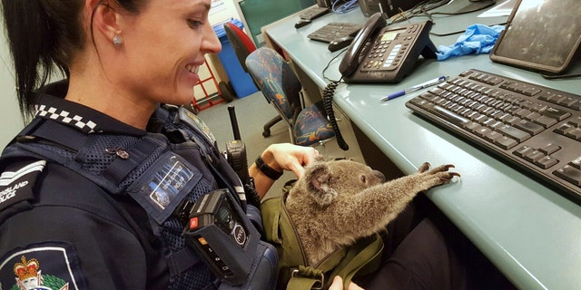 In this photo provided on Nov. 7, 2016, by the Queensland Police, Senior Constable Rio Law holds a koala at the Upper Mount Gravatt Police station in Brisbane, Australia, after it was found in a bag carried by a woman who was being arrested. Police said that when they asked the 50-year-old woman if she had anything to declare Sunday, Nov. 6 night, she handed over a zipped canvas bag that she said contained a baby koala. (Queensland Police via AP)