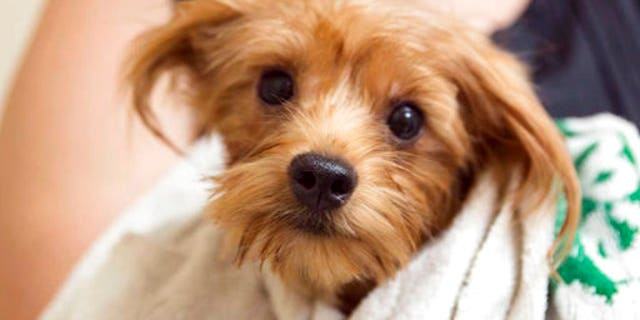 A groomed dog rescued from a scene where over 170 Yorkshire terrier and Yorkie mix dogs were discovered January in Poway, California.