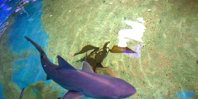 In this Aug. 23, 2017 photo provided by the New York State Department of Environmental Conservation, a shark swims in a basement swimming pool in LaGrangeville, N.Y. Officials say seven live sharks and three dead ones have been seized from the pool in the Hudson Valley home. (New York State Department of Environmental Conservation via AP)