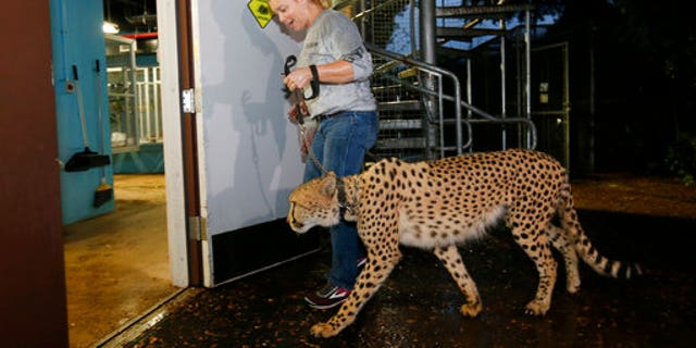 Jennifer Nelson, senior keeper at Zoo Miami, leads a cheetah named Koda to a hurricane resistant structure within the zoo on Saturday.