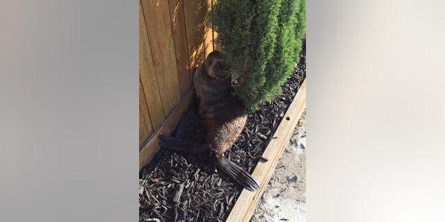 In this Thursday, March 24, 2016, photo provided by the Fremont Police Department,   a young seal pup who made a wrong turn, ending up in Fremont, Calif. The baby California fur seal somehow made it four miles from the water to the front yard of a home in the San Francisco Bay Area Thursday.  (Fremont Police Department via AP)